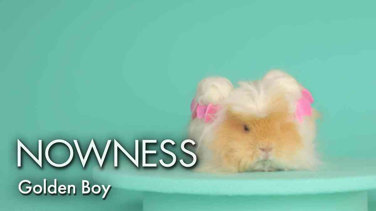 Hair and Beauty goals from Golden Boy the Guinea Pig - YouTube