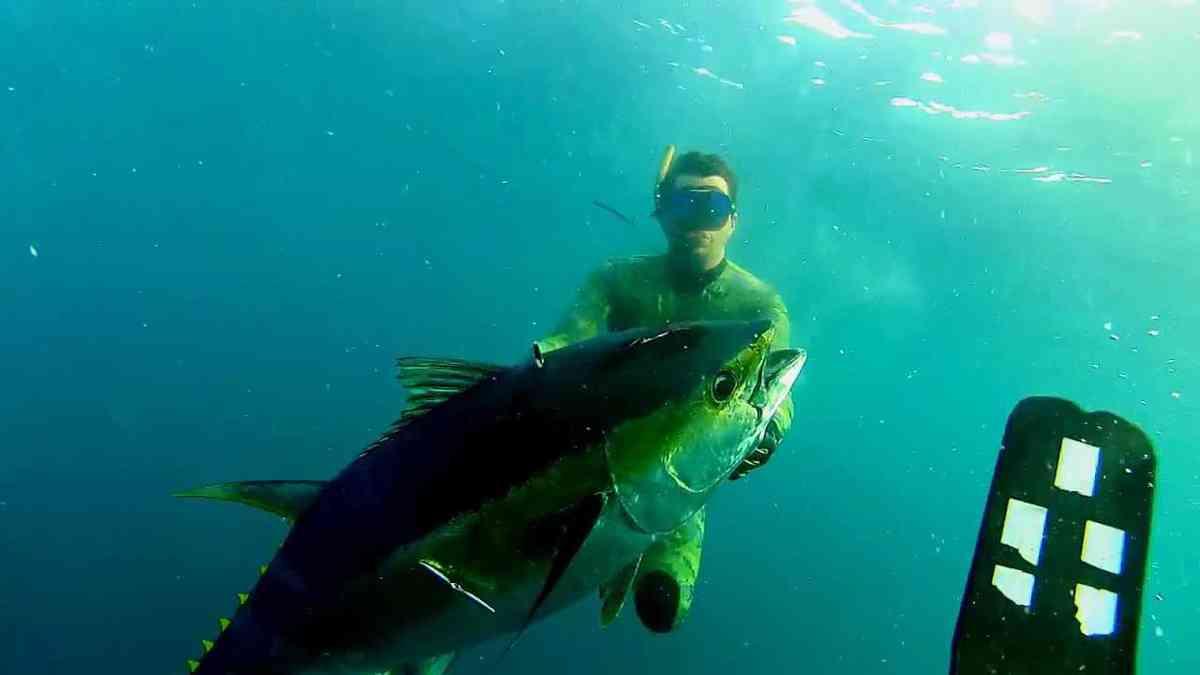Action de chasse: yellowfins encore/again (short version)