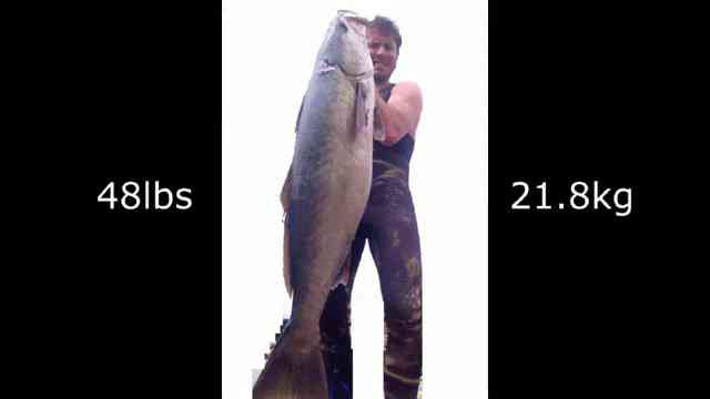 Spearfishing White Sebass 48 lb