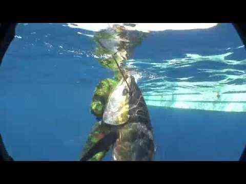 Big Yellowfin Tuna Spearfishing