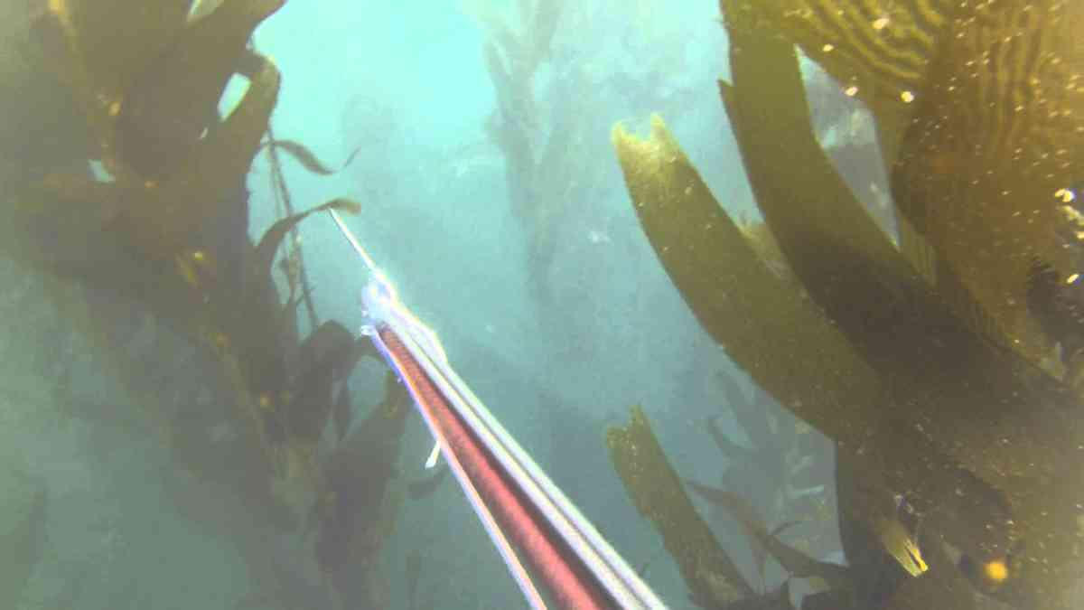 Spearfishing White Seabass 36 lb